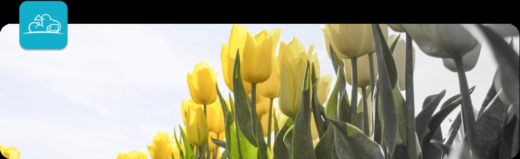 spring tulip flowers banner